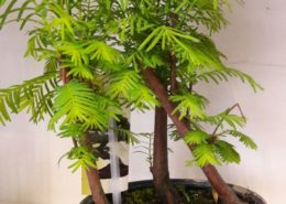 Bonsai Metasequoia Cagliari
